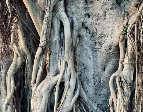 老树(摄影)
